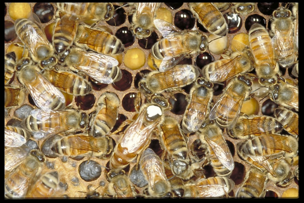 image for African Bee Project, Panama, STRI
