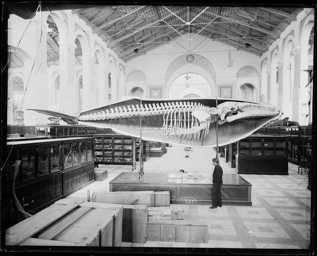 image for Whale Cast at USNM