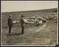 View John Steuart Curry sketching sheep digital asset number 0