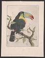 View Sulphur-breasted Toucan digital asset number 0