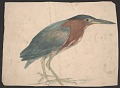 View Sketch of a Green Heron digital asset number 0
