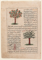 View Folio from <em>Aja'ib al-makhluqat</em> (Wonders of Creation) by al-Qazvini; recto: Apple Tree (Tuffah), Cone-Bearing Fir (Tannub); verso: Mulberry Tree (Tut), Fig Tree digital asset number 0