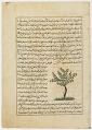View Folio from <em>Aja'ib al-makhluqat</em> (Wonders of Creation) by al-Qazvini; recto: Apricot Tree (Mishmish); verso: Banana Tree (mawz), Orange Tree (Naranj) digital asset number 0