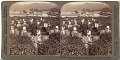 View (76) - 8915- Girls picking tea on famous plantation at Uji, among the sunny hills of old Japan, 1904 or earlier. [graphic] digital asset number 0