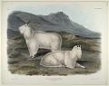 View Capra Americana, Blainville digital asset: Rocky Mountain Goat