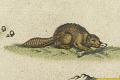 View Novi Belgii, Novaeque Angliae nec non partis Virginiae Tabula... digital asset: Beaver detail