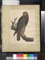 "View Lithograph of bird species ""Buteo calurus"" digital asset number 1"