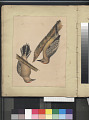"View Lithograph of bird species ""Centurus uropygialis"" digital asset number 1"