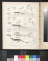 "View Lithograph of ""Indian Antiquities"" pottery artifacts digital asset: ""Proctotretus Tenius, Proctotetrus Femoratus and Proctotetrus Stantoni"" / Plate XL"