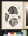 "View Lithograph of ""Indian Antiquities"" pottery artifacts digital asset: ""Ostrea Gregaria, Sow., Pecten Alatus, Buch. Lithotrochus Andii, Terebratula Subexcavata, and Ammonites"" / Plate XLI"