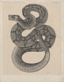 """View Engraving of snake species """"Crotalus molossus"""" digital asset number 0"""