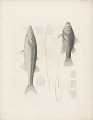View Percichthys melanops and Basilichthysmicrolepidotus digital asset number 0