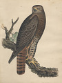 "View Lithograph of bird species ""Buteo calurus"" digital asset number 0"