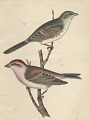 "View Lithograph of bird species ""Carpodacus cassinii and Melospiza fallax"" digital asset number 0"