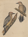 "View Lithograph of bird species ""Centurus uropygialis"" digital asset number 0"