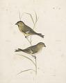 View Chrysomitris marginalis [Bonaparte] male and female digital asset number 0