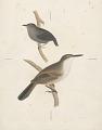 View Ericornis melanura [Gray] adult and Scytalopus fuscus [Gould] adult digital asset number 0