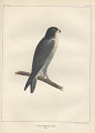"View Lithograph of ""Indian Antiquities"" pottery artifacts digital asset: ""Falco Nigriceps Cassin male"" / Plate XIV"
