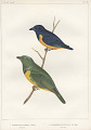 "View Lithograph of ""Indian Antiquities"" pottery artifacts digital asset: ""Euphonia Rufiventris [Viell] adult male and Clorophonia Occipitalis [Du Bus] adult male"" / Plate XX"