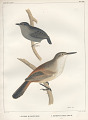 "View Lithograph of ""Indian Antiquities"" pottery artifacts digital asset: ""Ericornis Mealanura [gray] adult and Scytalopus Fuscus [Gould] adult"" / Plate XXI"