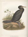 "View Lithograph of ""Indian Antiquities"" pottery artifacts digital asset: ""Phalacrocorax Brasilianus [GM]"" / Plate XXVIII"