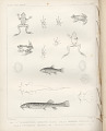 "View Lithograph of ""Indian Antiquities"" pottery artifacts digital asset: ""Trichomycterius Maculatus, Cheiroden Pisciculus, Cystignathus Taeniathus, and Phyllobates Auratus"" / Plate XXXIV"