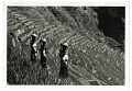 View Ifugao Rice Terraces in Phillippines digital asset: Photograph by John Launois, Ifugao Rice Terraces in Phillippines, Black Star Publishing Company