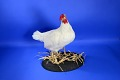 View Taxidermied Chicken Like Those Used in the Bird Brain digital asset: Taxidermied Chicken Like Those Used in the Bird Brain
