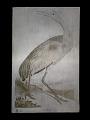 View Hooping Crane, <I>Grus Americana</I> (Young) digital asset number 0
