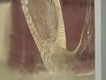 View Hooping Crane, <I>Grus Americana</I> (Young) digital asset number 2