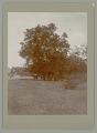 View Tree (Acacia Pringlei?) n.d digital asset number 0