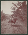 View Puerto Rican Man on Donkey with Saddle Baskets Full of Cut Vegetation on Military Dirt Road 1901 digital asset number 1