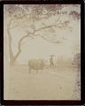 View Man in Costume and with Water Buffalo 1896 digital asset number 0