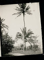 View Coconut Palm Cut for Climbing 05 SEP 1925 digital asset number 0