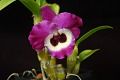 View Dendrobium Star Glory 'Noriko' digital asset: Photographed by: Eugene Cross