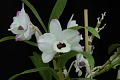 View Dendrobium To My Kids 'Smile' digital asset: Photographed by: Eugene Cross
