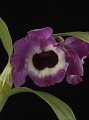 View Dendrobium Star Sapphire 'KOS' digital asset: Photographed by: Creekside Digital