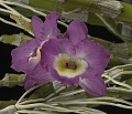 View Dendrobium Upim Red 'Asahi' digital asset: Photographed by: Creekside Digital