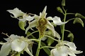 View Dendrobium Spider Lily digital asset: Photographed by: Eugene Cross