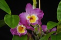 View Dendrobium Wave King digital asset: Photographed by: Eugene Cross