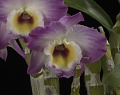 View Dendrobium Sweet Pinky 'Love' digital asset: Photographed by: Creekside Digital