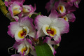 View Dendrobium Sweet Pinky 'Love' digital asset: Photographed by: Eugene Cross