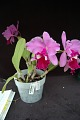 View Cattleya George Baldwin 'Shore Orchid Growers' digital asset: Photographed by: Eugene Cross