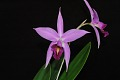 View Laelia anceps 'Mr. Chrisman's First Orchid' digital asset: Photographed by: Eugene Cross