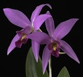 View Laelia anceps 'Mr. Chrisman's First Orchid' digital asset: Photographed by: Creekside Digital