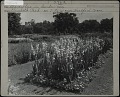 View [Elizabeth Park]: gladiolus in a bed, with other flower beds and arbors in the background. digital asset: [Elizabeth Park] [photographic print]: gladiolus in a bed, with other flower beds and arbors in the background.