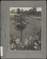 View [Elizabeth Park]: a standard of Rosa multiflora (also known as a Baby Rose or Rambler Rose), with flower beds and some arch arbors in the distance. digital asset: [Elizabeth Park] [photographic print]: a standard of Rosa multiflora (also known as a Baby Rose or Rambler Rose), with flower beds and some arch arbors in the distance.