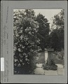 View [Breeze Hill]: sundial with vines next to roses. digital asset: [Breeze Hill] [photographic print]: sundial with vines next to roses.