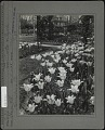 View [Breeze Hill]: closeup of tulips along a grass walkway with a stone walkway in background. digital asset: [Breeze Hill] [photographic print]: closeup of tulips along a grass walkway with a stone walkway in background.