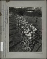 View [Breeze Hill]: flower bed of tulips. digital asset: [Breeze Hill] [photographic print]: flower bed of tulips.
